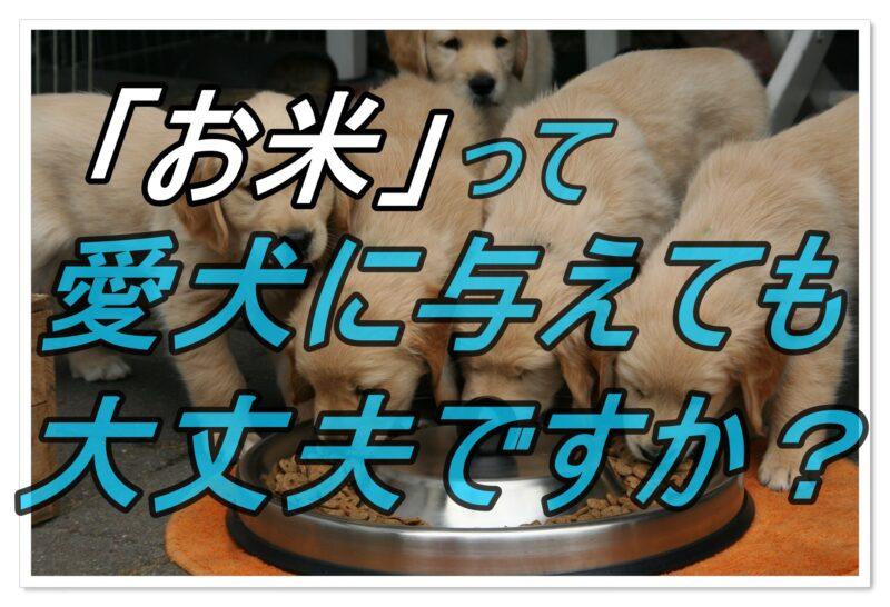 栄養満点って本当!?お米は犬に与えても大丈夫な食べ物?