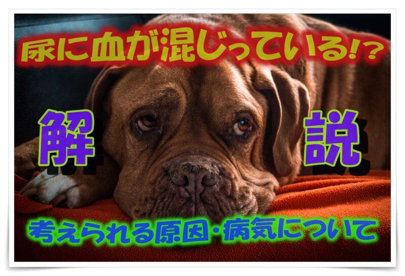 犬のおしっこが赤い|血尿?|原因・病気について解説