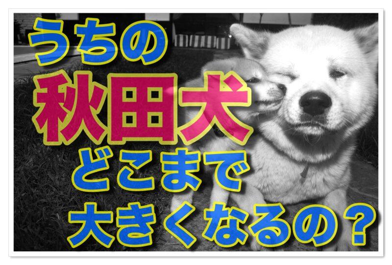 わたしの「忠犬」秋田犬、どこまで?いつまで?成長する?