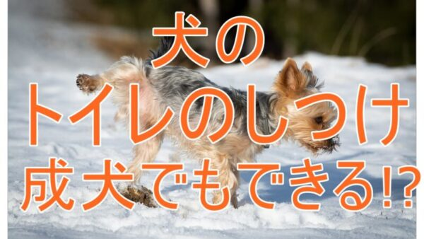 【必見】トイレのしつけは成犬でもできる?犬のトイレトレーニング法解説!